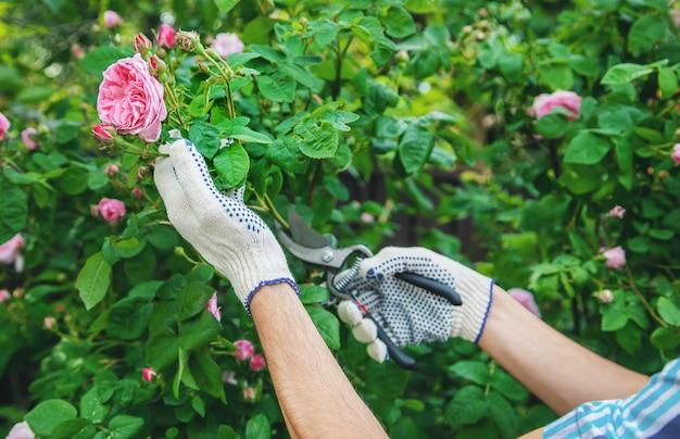 Forbici per rose da tè per giardiniere da potatore.