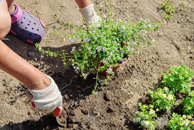 Il giardiniere pianta piantine di fiori di bakopa. foto ravvicinata delle mani nei guanti con messa a fuoco morbida selettiva.