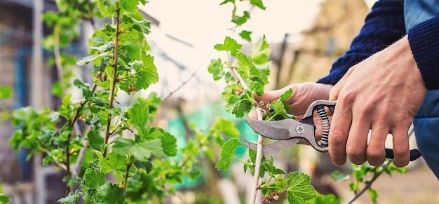 Giardiniere potatura cespugli di ribes in giardino. messa a fuoco selettiva. natura.