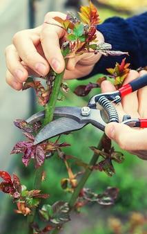 Giardiniere potatura di rose in giardino.