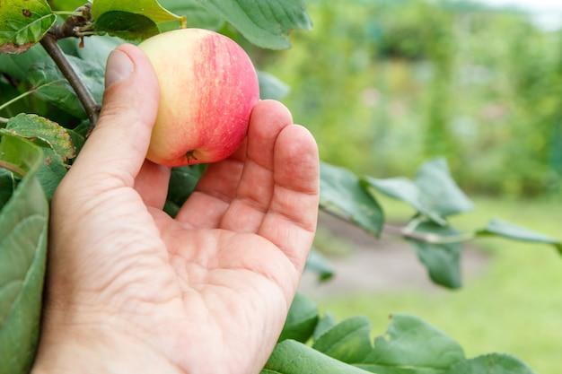 Mano del giardiniere che raccoglie mela rossa. la mano femminile raggiunge le mele sull'albero