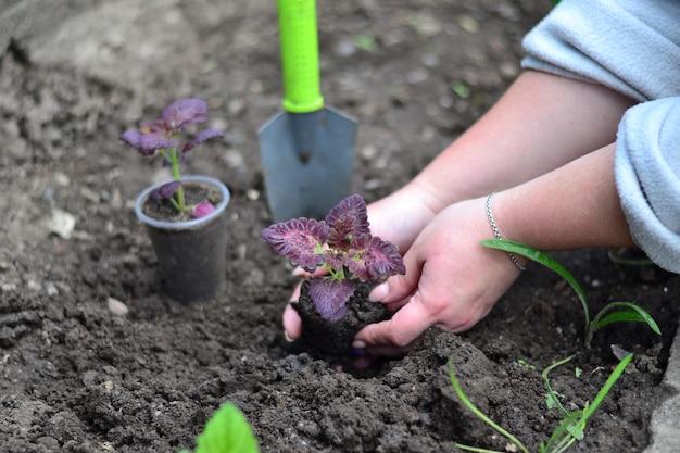 Il giardiniere trasferisce le piantine nel terreno.