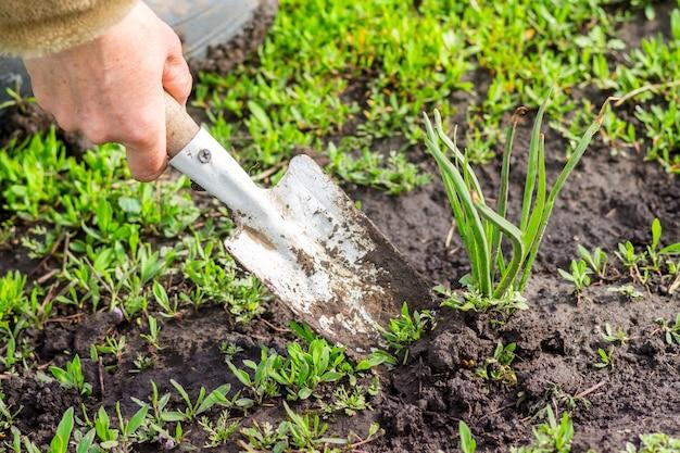 Un giardiniere con una pala trapianta la pianta in giardino