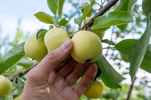 Giardinieri che raccolgono a mano una mela verde da un albero in un giorno d'estate la mano di una donna raccoglie una mela verde