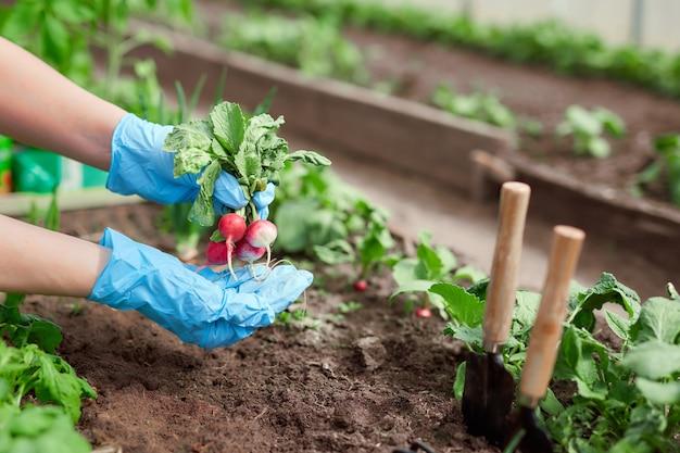 Mani di giardinieri che piantano e che raccolgono la verdura dal giardino del cortile.