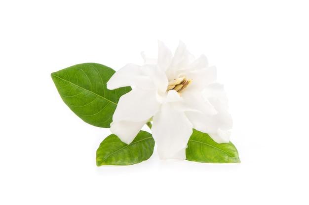 Gardenia jasminoides fiore isolato su sfondo bianco.