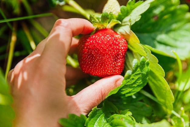 Concetto di giardinaggio e agricoltura. mano femminile del lavoratore agricolo che raccoglie la fragola organica matura fresca rossa in giardino