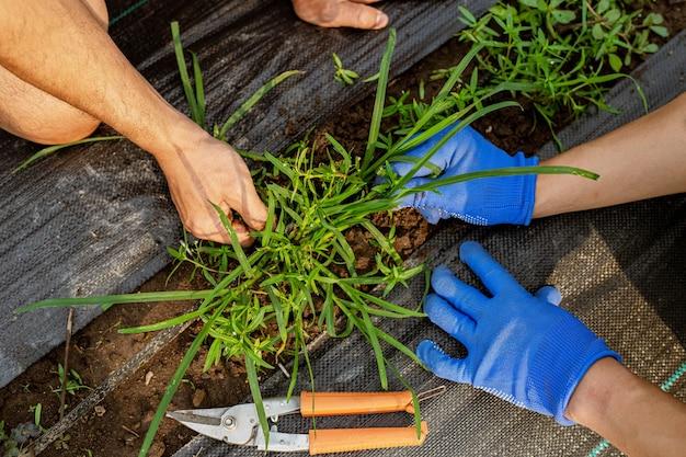 Concetto di giardinaggio un giardiniere maschio che pulisce l'area intorno all'orto rimuovendo le erbacce.