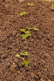 Concetto di giardinaggio giovane cespuglio di fragole verde coltivato sul terreno.