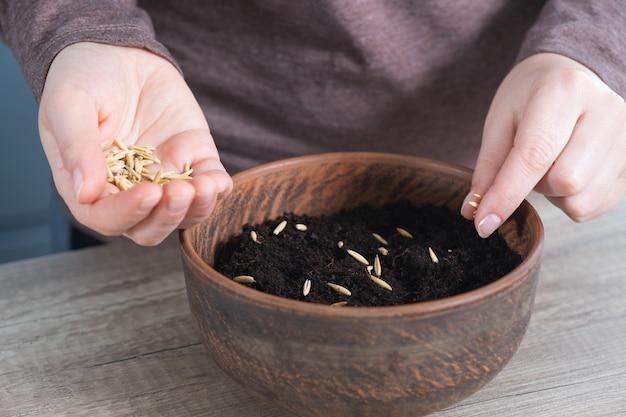 Giardinaggio a casa, le mani delle donne piantano semi di avena in un vaso di ceramica. avena in crescita per la decorazione di pasqua. passo dopo passo, tutorial.