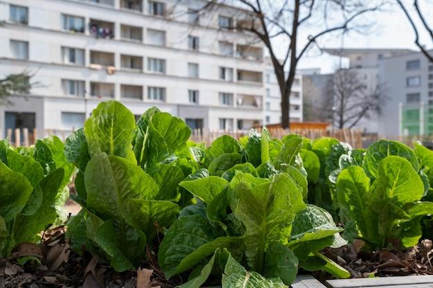 Contenitore per ortaggi da giardinaggio. orto in terrazza. insalate che crescono in un contenitore in un quartiere urbano