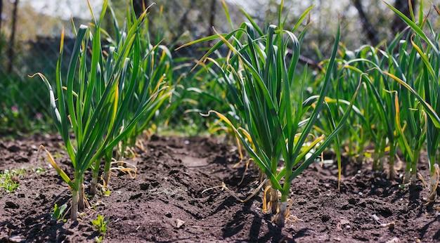 Aglio piantato in fila su un letto da giardino. foglie di aglio verde. aglio profumato in campagna.