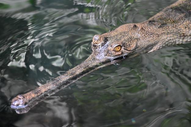 Coccodrillo gaviale che nuota sulla superficie dell'acqua