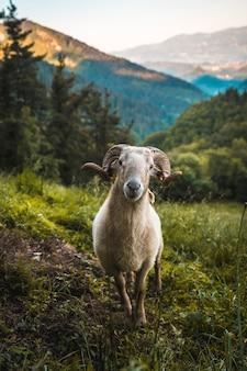 Lo sguardo di una capra cornuta sulla scalata del monte adarra a urnieta, vicino a san sebastian. gipuzkoa, paesi baschi. foto verticale