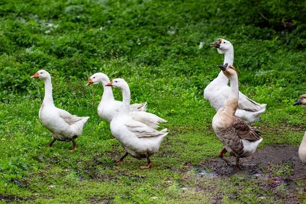 Oche nell'erba. uccello domestico. stormo di oche. oche bianche.