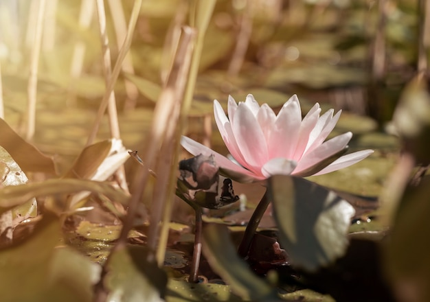 Ninfea delicata con petali rosa chiaro su stagno o lago ninfea cinese closeup