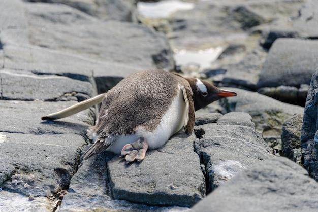 Pinguino gentoo sdraiato su roccia in antartide
