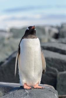Pinguino gentoo su roccia in antartide
