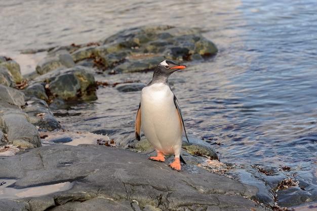 Pinguino gentoo in acqua