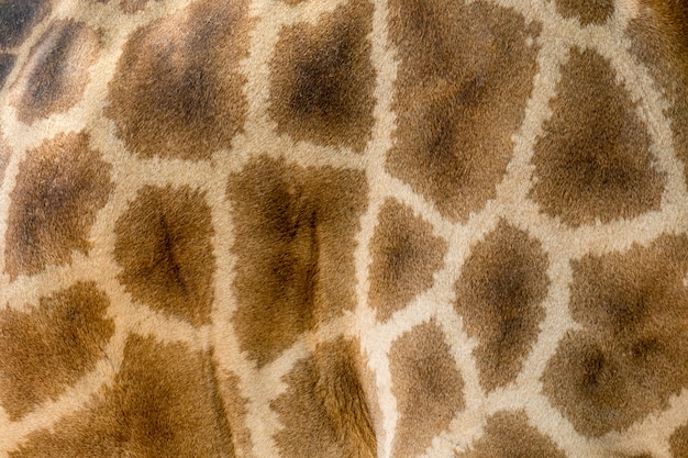 Vera pelle di giraffa con macchie marrone chiaro e scuro.