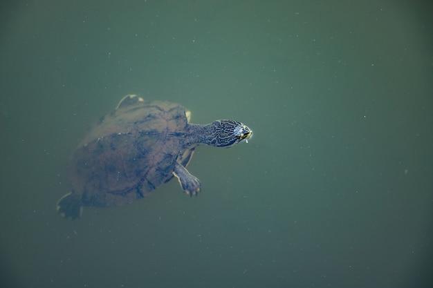 Tartaruga dal collo laterale di geoffroy della specie phrynops geoffroanus