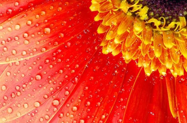 Gerbera fiore vicino sfondo