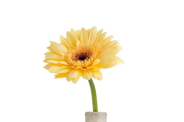 Gerbera fiore sul vaso, isolato su bianco.