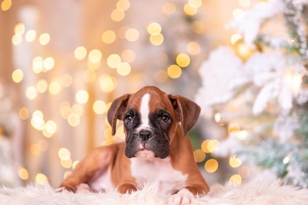 Cucciolo di boxer tedesco. cucciolo di boxer nel bellissimo studio di capodanno.