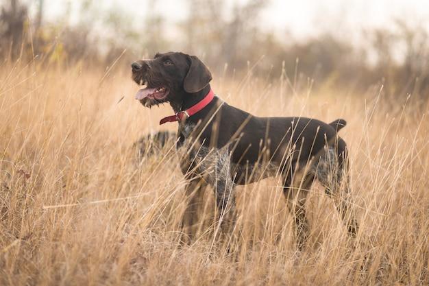 Cane da guardia tedesco di caccia in un campo