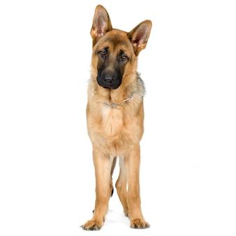 Pastore tedesco (7 mesi) cane alsaziano. ritratto di cane isolato