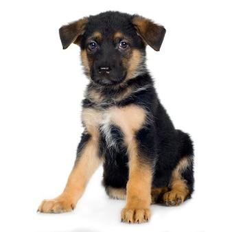 Pastore tedesco (7 settimane) cane alsaziano. ritratto di cane isolato
