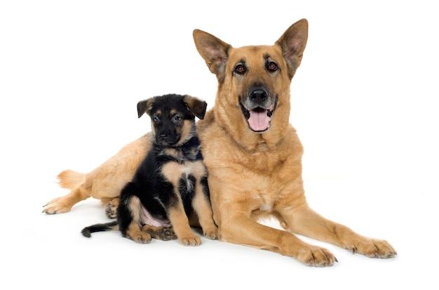 Pastore tedesco (9 anni e 7 settimane) cane alsaziano. ritratto di cane isolato