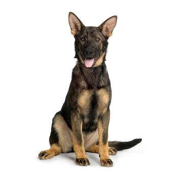 Pastore tedesco o alsaziano. ritratto di cane isolato (5 mesi)