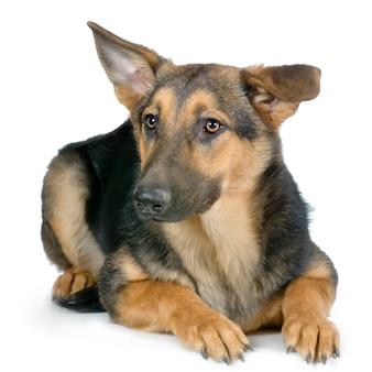 Pastore tedesco o alsaziano. ritratto di cane isolato