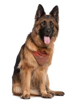 Cane pastore tedesco, 5 anni, seduto di fronte al muro bianco