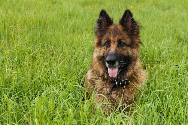 Cane pastore tedesco. dog sitter in erba verde. il cane tirò fuori la lingua.
