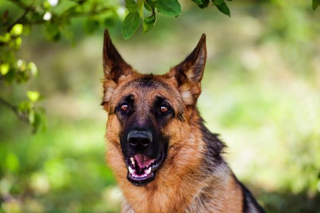 Cane da pastore tedesco su erba verde