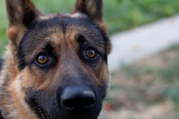 Occhi da guardia per cani da pastore tedesco