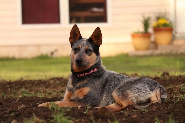 Il cane da pastore tedesco si trova sulla radura nella foresta di abeti rossi.