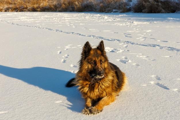 Il cane da pastore tedesco giace nella neve in una giornata invernale.