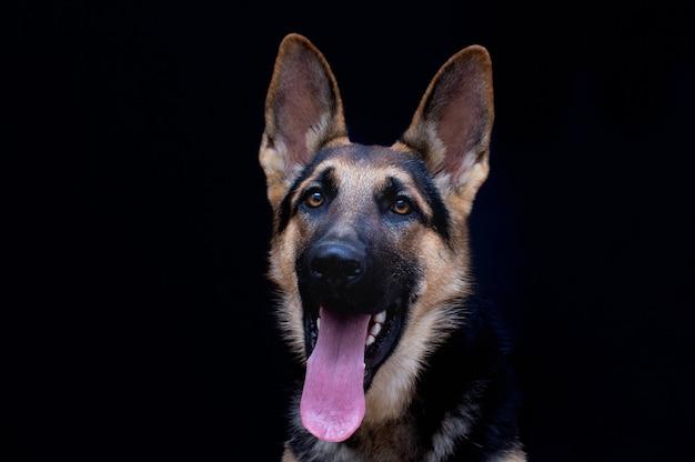 Ritratto di cane pastore tedesco davanti a sfondo nero
