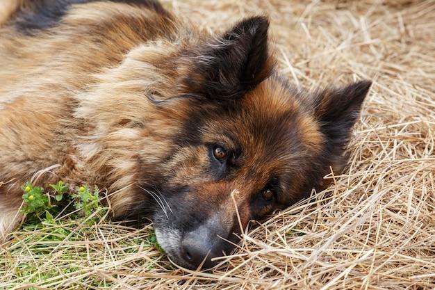Cane pastore tedesco. un cane malato triste giace nel fieno. primo piano di un cane