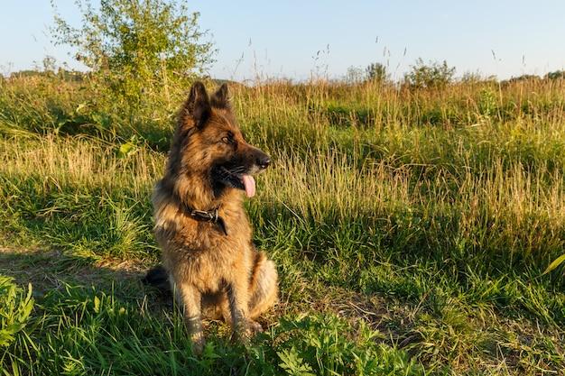 Il cane da pastore tedesco si siede sull'erba e guarda di lato. tramonto.