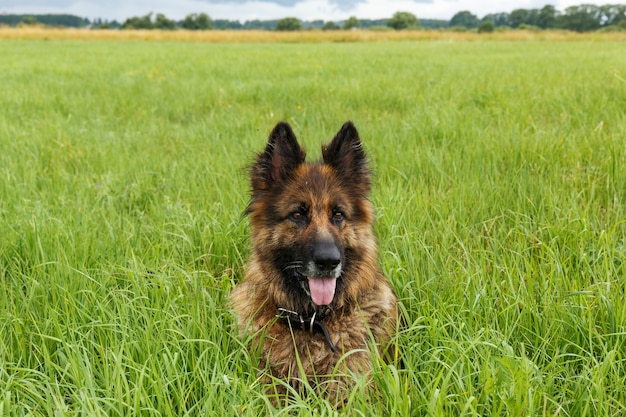 Cane da pastore tedesco seduto nell'erba verde. il cane tirò fuori la lingua.