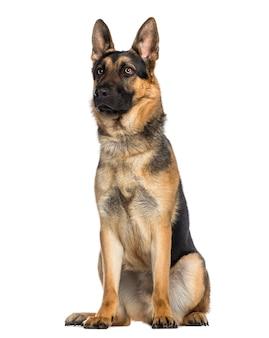 Cane da pastore tedesco seduto