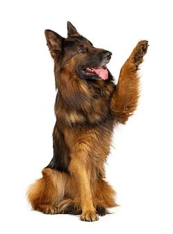 Cane da pastore tedesco con la zampa in su