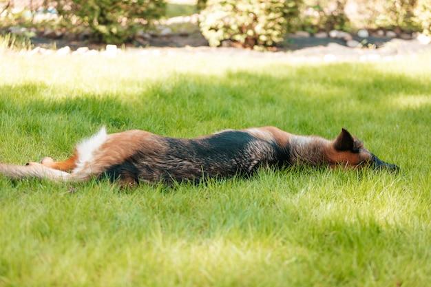 Pastore tedesco sdraiato sull'erba nel parco. ritratto di un cane di razza.