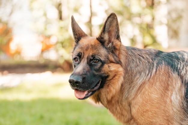 Pastore tedesco nel parco. ritratto di un cane di razza.