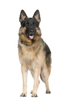 Pastore tedesco con 2 anni. ritratto del cane isolato / alsaziano. ritratto di cane isolato
