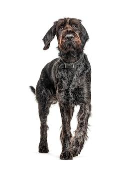 Il tedesco wirehaired pointer,korthals cane, isolato su bianco